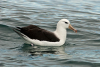 Black Browed albatross-1682